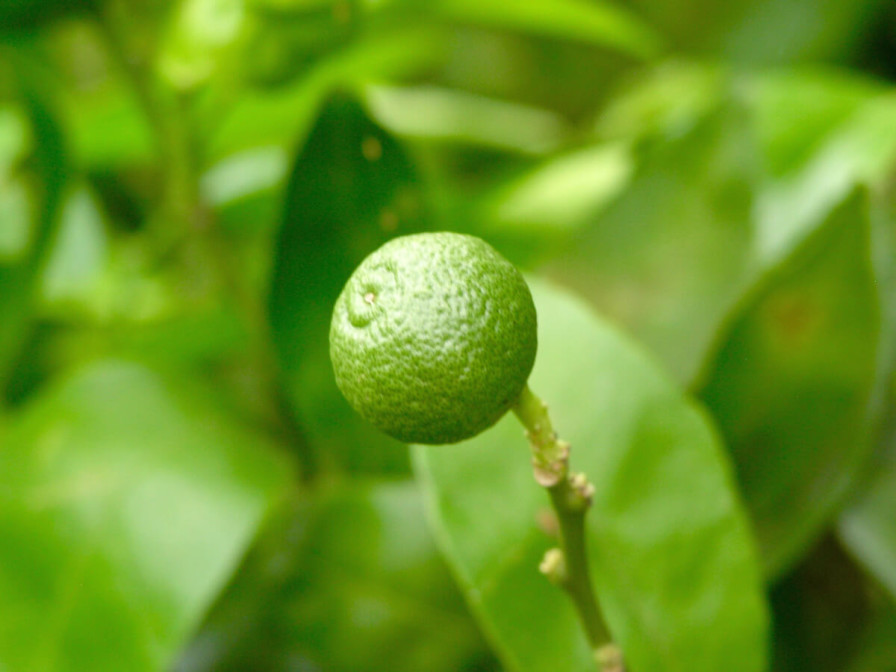 Floració i creixement de mandarines i taronges